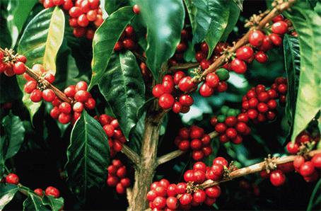 Bild Kaffeebohnen Qualität