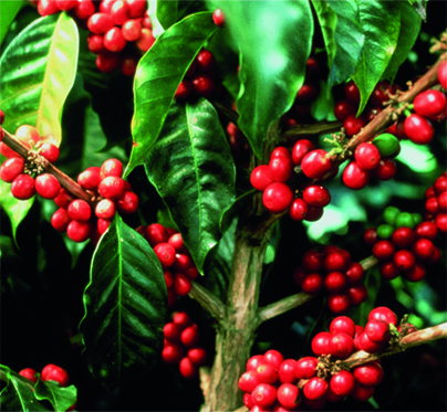 Kaffeemehl aus der Kaffeekirsche